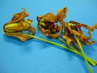 グロリオサの種